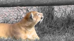 puma-cautiverio